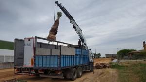 Plantación palmeras y magonlias